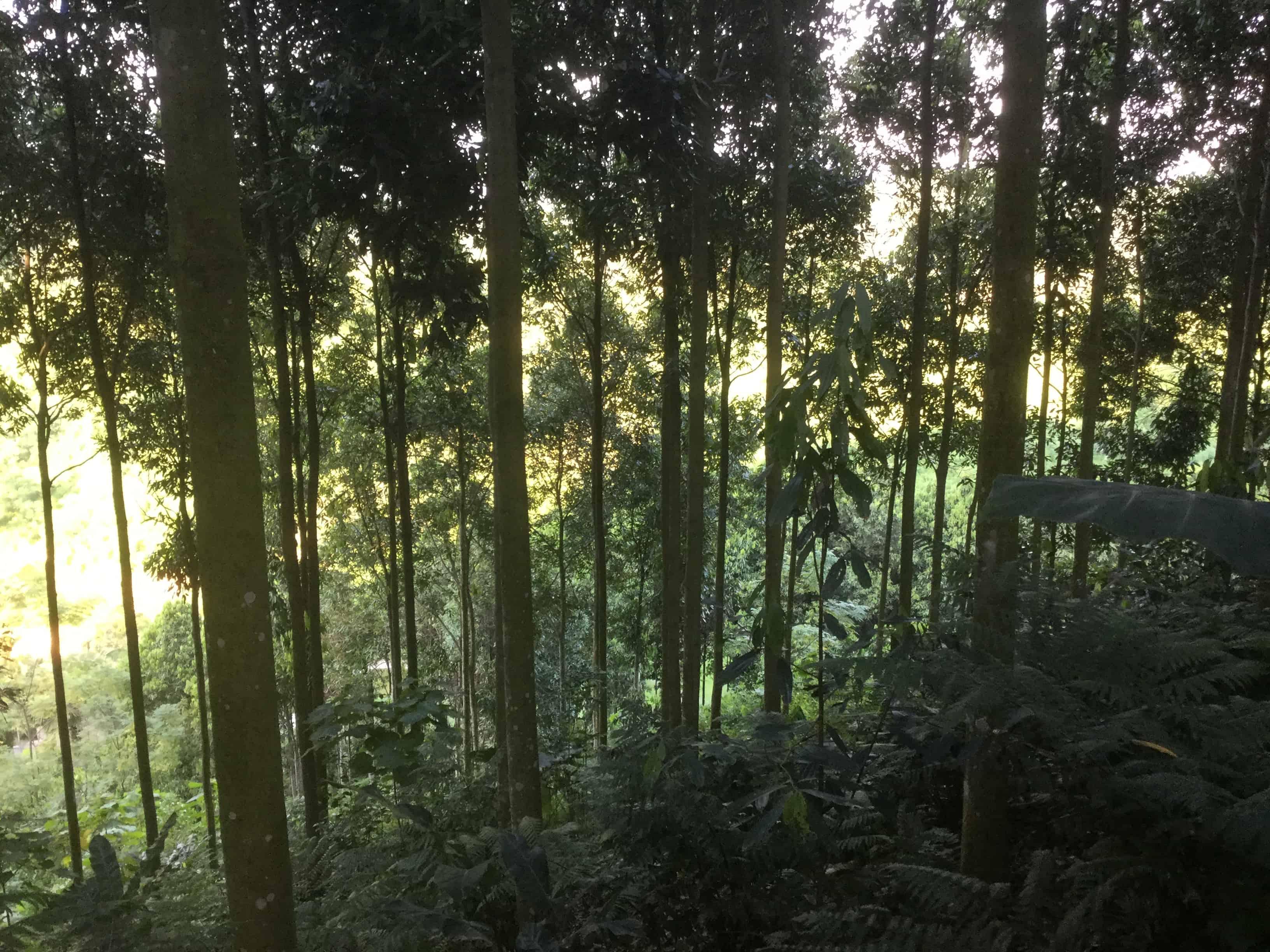 Cây quế rừng Dược liệu quý với giá trị kinh tế cao 2